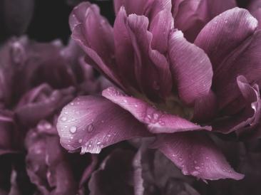 Tulips_Julianadorp-111