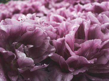 Tulips_Julianadorp-112