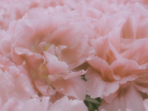 Tulips_Julianadorp-113