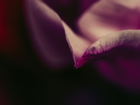 Tulips_Julianadorp-133