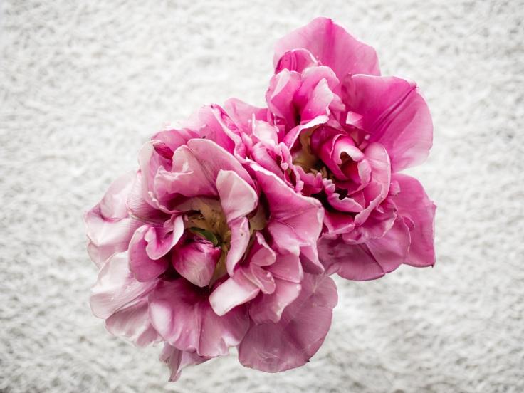 Tulips_Julianadorp-166