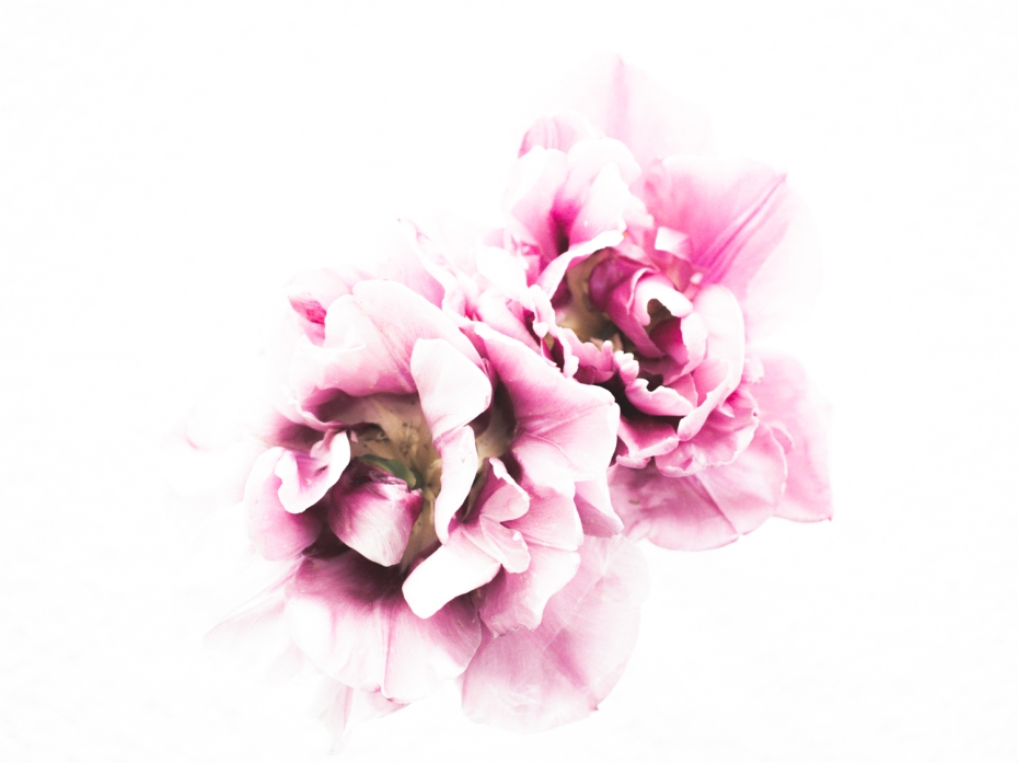 Tulips_Julianadorp-167