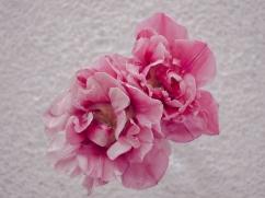 Tulips_Julianadorp-168
