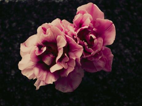Tulips_Julianadorp-170