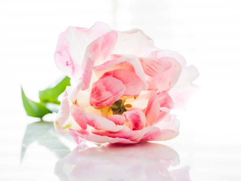 Tulips_Julianadorp-185