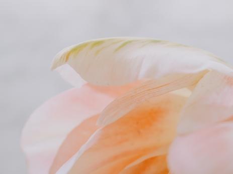 Tulips_Julianadorp-189