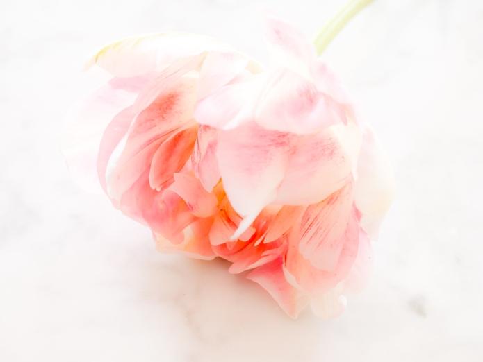Tulips_Julianadorp-191
