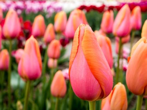 Tulips_Julianadorp-62