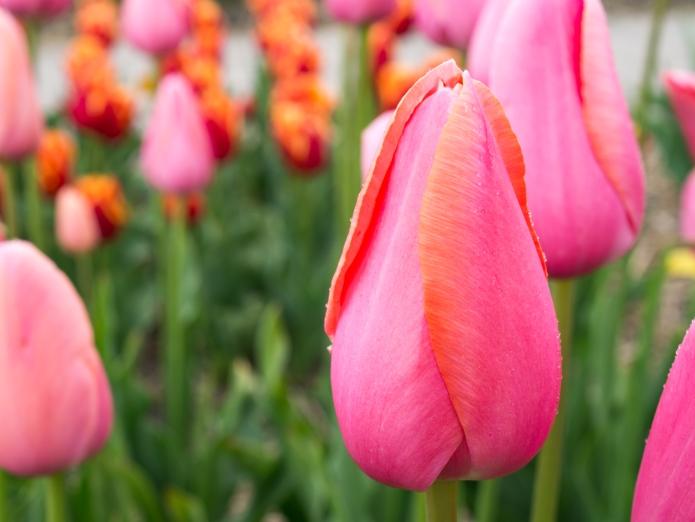 Tulips_Julianadorp-66