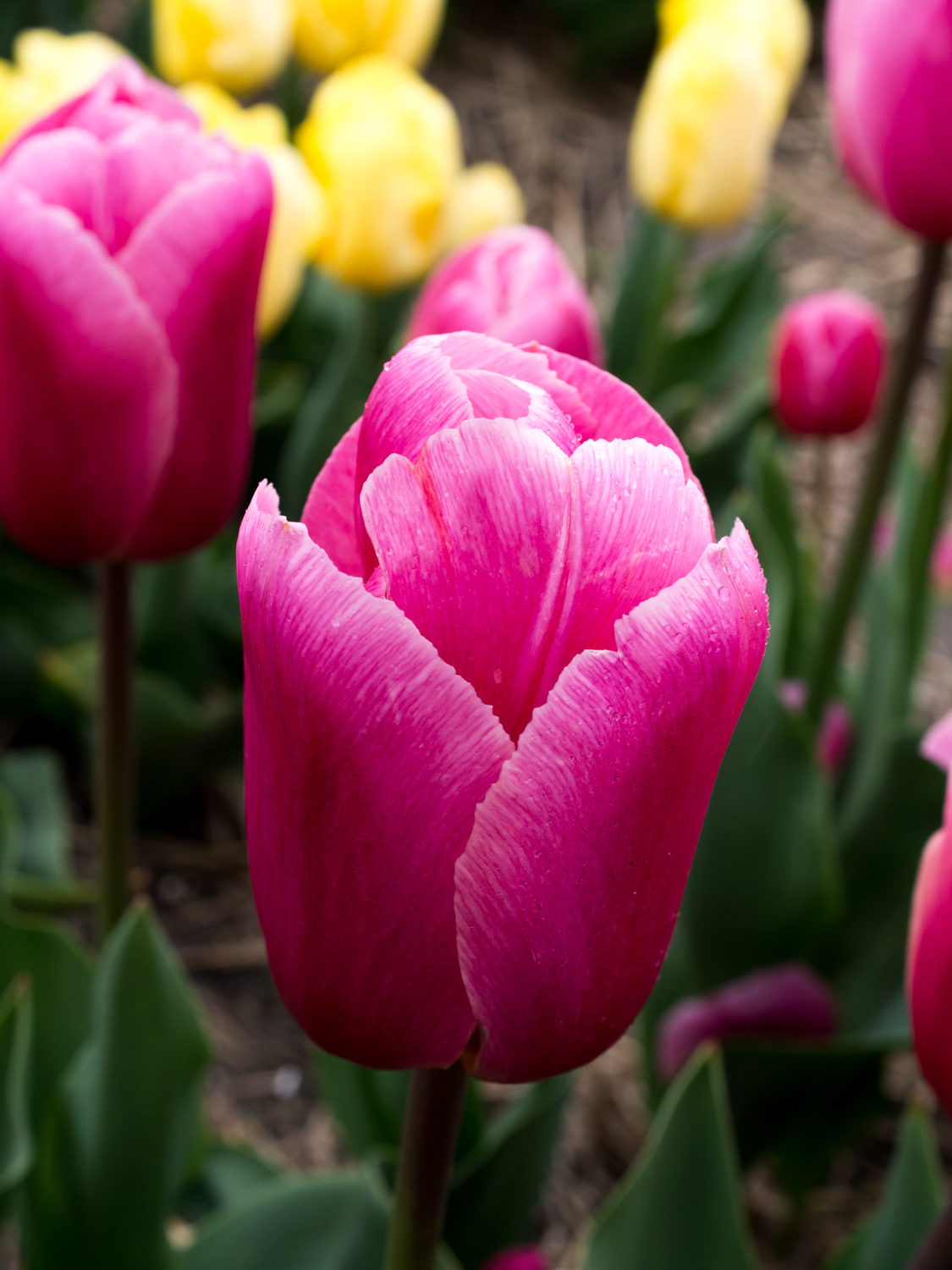 Tulips_Julianadorp-67