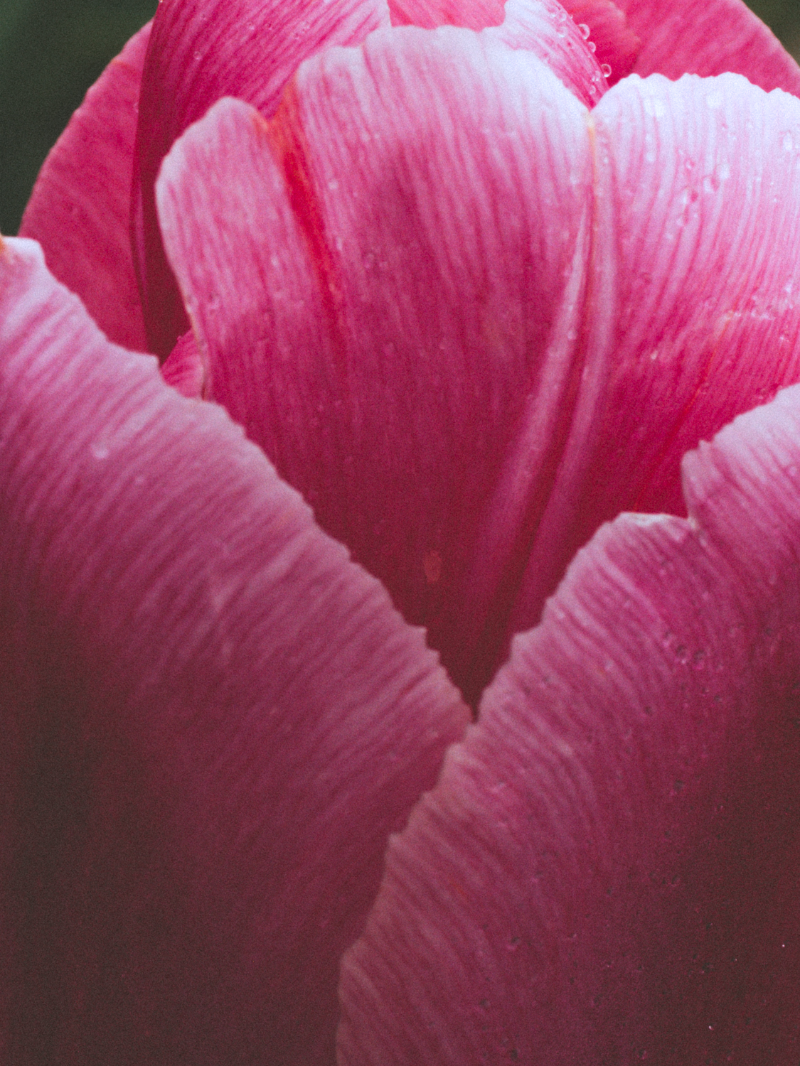 Tulips_Julianadorp-68