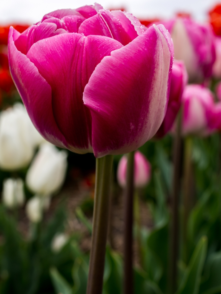 Tulips_Julianadorp-73