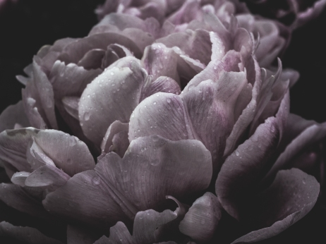 Tulips_Julianadorp-77