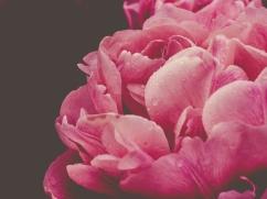 Tulips_Julianadorp-78