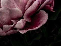 Tulips_Julianadorp-80