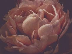 Tulips_Julianadorp-81