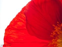 201909_Poppies-10
