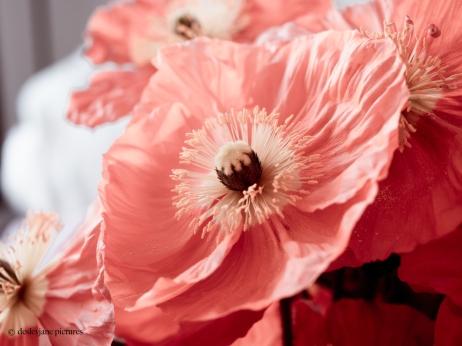201909_Poppies-26