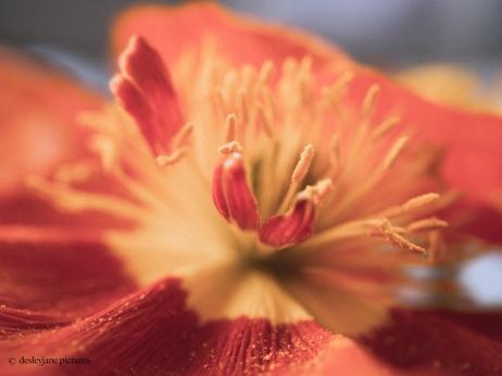 Poppies 2.2