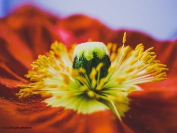 Poppies 3.2