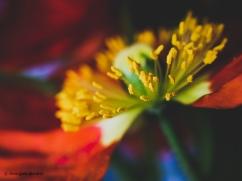Poppies 1.2