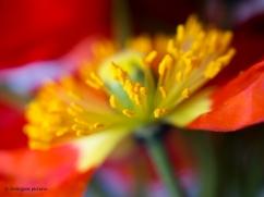 Poppies 1.3