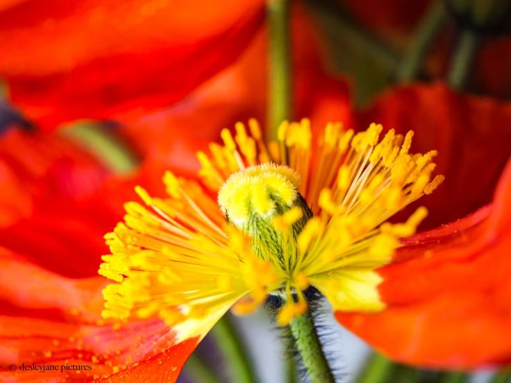 Poppies 1.4