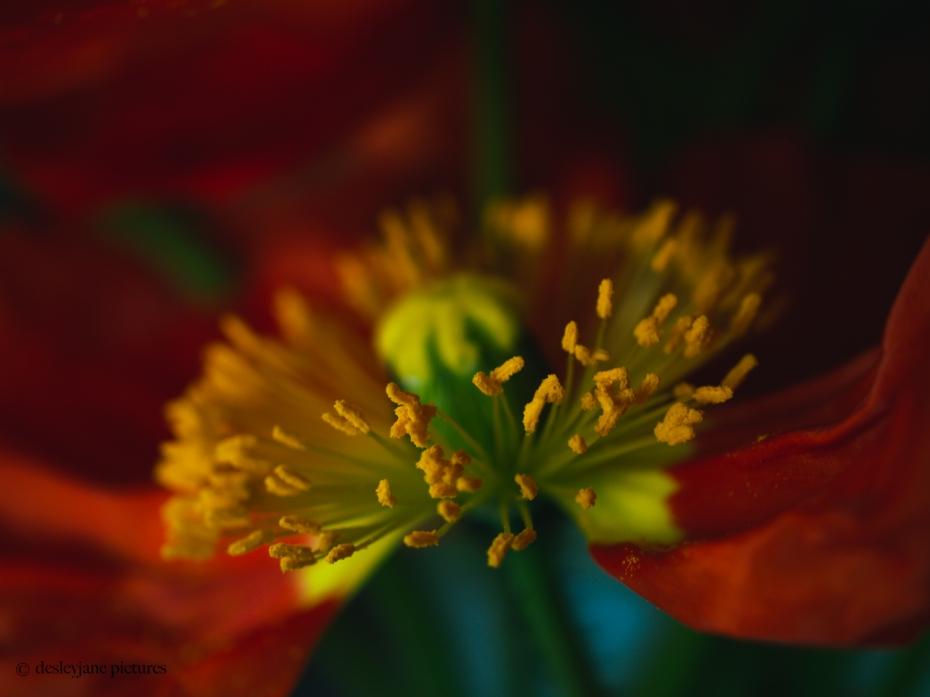 Poppies 1.1