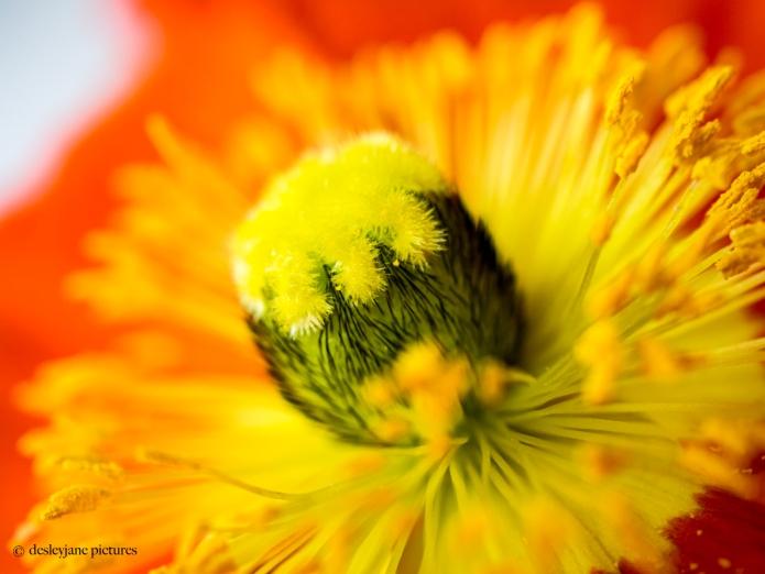 Poppies 3.1