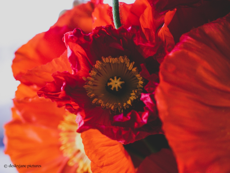 201909_Poppies-5