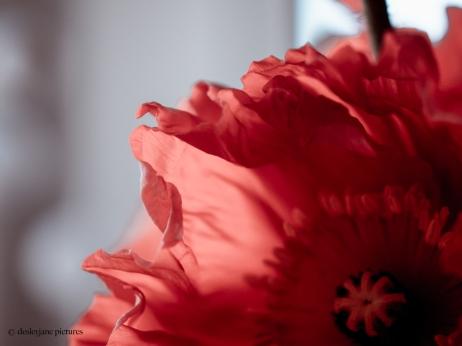 201909_Poppies-6
