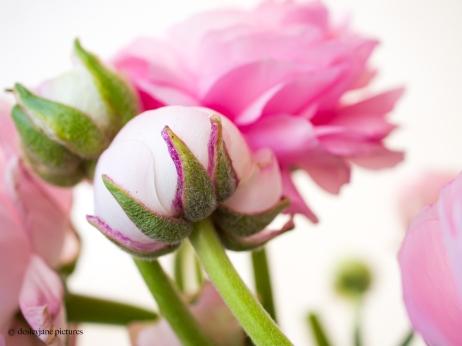 Ranunculus-7